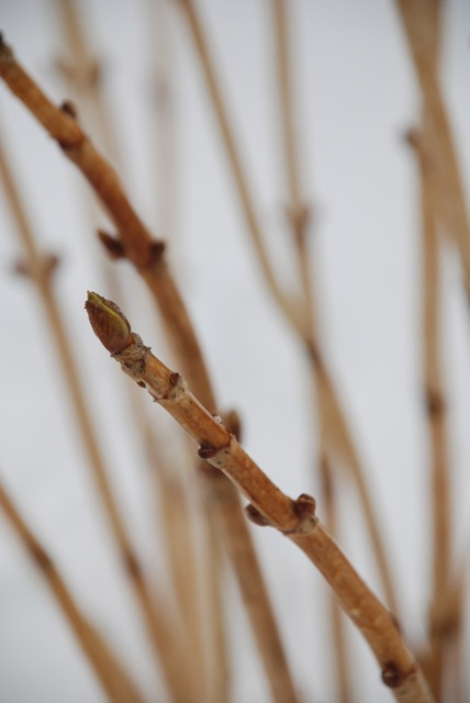 signs of spring - swelling buds